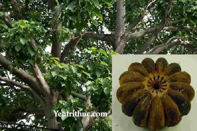 Cây ngô đồng là cây gì, hạt cây ngô đồng nguy hiểm như thế nào 2