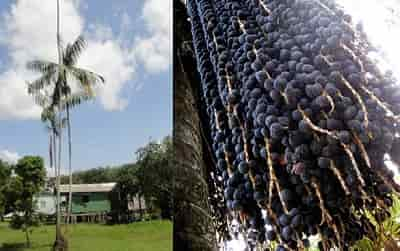 Acai Berry là quả gì, hình ảnh và công dụng quả Acai Berry 2