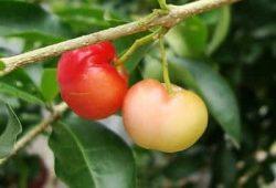Acerola Cherry 2