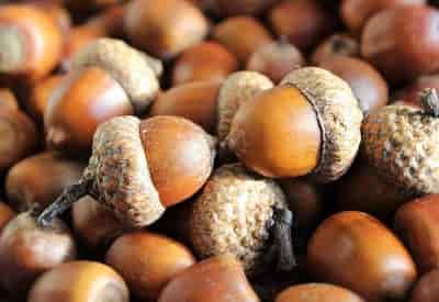 Acorn là quả gì, tìm hiểu loại hạt Acorn là hạt dẻ, sồi hay quả Đầu