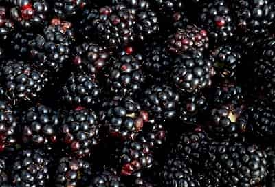 BlackBerry là quả gì mà người ta gọi là Dâu đen 2
