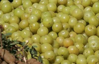 Amla là quả gì, quả Amla có phải quả Lý Gai và Indian Gooseberry 1