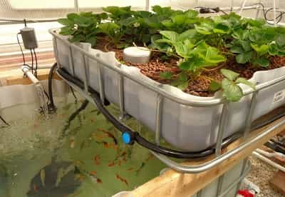 Hệ thống nuôi cá và rau Aquaponics